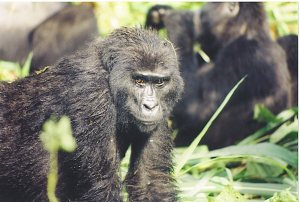 Will Selma get to visit the endangered Mountain Gorillas in Uganda?